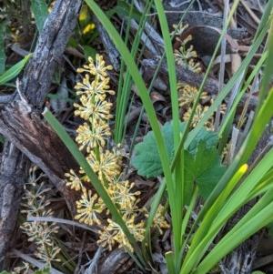 Lomandra multiflora at Red Hill Nature Reserve - 20 Oct 2020