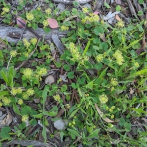 Hydrocotyle laxiflora at Red Hill Nature Reserve - 20 Oct 2020