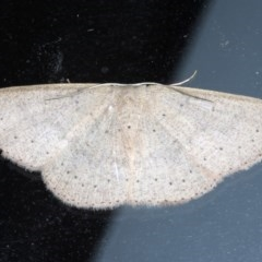 Cyclophora obstataria (Cyclophora obstataria) at Lilli Pilli, NSW - 2 Oct 2020 by jbromilow50