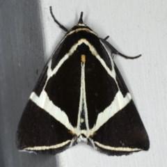Fodina ostorius (Rainforest Vine Moth) at Lilli Pilli, NSW - 3 Oct 2020 by jbromilow50