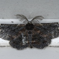 Pholodes sinistraria (Sinister or Frilled Bark Moth) at Lilli Pilli, NSW - 3 Oct 2020 by jbromilow50