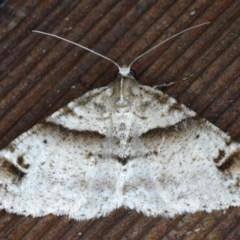 Syneora hemeropa (Ring-tipped Bark Moth) at Lilli Pilli, NSW - 3 Oct 2020 by jbromilow50