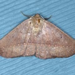 Idiodes apicata (Bracken Moth) at Lilli Pilli, NSW - 3 Oct 2020 by jbromilow50
