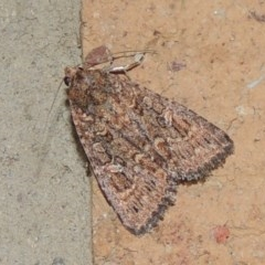 Hypoperigea tonsa (A noctuid moth) at Conder, ACT - 5 Oct 2020 by michaelb