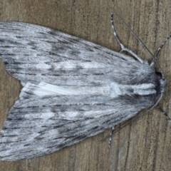Capusa senilis (Black-banded Wedge Moth) at Lilli Pilli, NSW - 3 Oct 2020 by jbromilow50