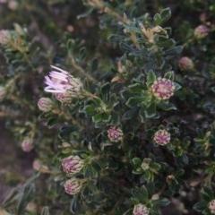 Olearia iodochroa (Violet Daisy-bush) at Bombala, NSW - 21 Jul 2020 by michaelb