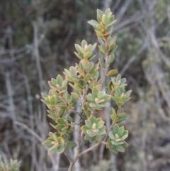 Brachyloma daphnoides (Daphne Heath) at Bombala, NSW - 21 Jul 2020 by michaelb