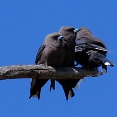 Artamus cyanopterus (Dusky Woodswallow) at Kama - 20 Oct 2020 by Kurt