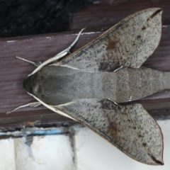 Hippotion scrofa (Coprosma Hawk Moth) at Lilli Pilli, NSW - 3 Oct 2020 by jbromilow50