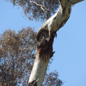Eucalyptus melliodora at Gordon, ACT - 26 Aug 2020