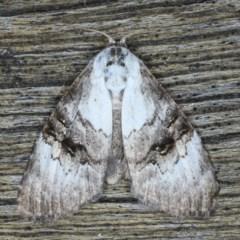 Acatapaustus leucospila (TBC) at Lilli Pilli, NSW - 3 Oct 2020 by jbromilow50
