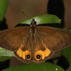 Hypocysta metirius (Brown Ringlet) at Lilli Pilli, NSW - 3 Oct 2020 by jbromilow50