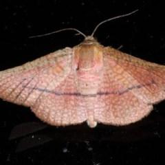 Aglaopus pyrrhata (A Leaf Moth) at Lilli Pilli, NSW - 3 Oct 2020 by jbromilow50