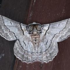 Hypobapta tachyhalotaria (Varied Grey) at Lilli Pilli, NSW - 3 Oct 2020 by jbromilow50