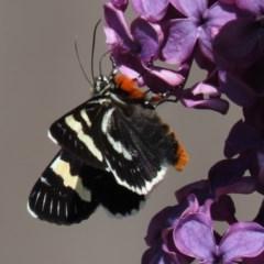 Phalaenoides glycinae (Grapevine Moth) at Waramanga, ACT - 15 Oct 2020 by AndrewZelnik