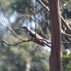 Cacomantis pallidus (Pallid Cuckoo) at Yatte Yattah, NSW - 20 Oct 2020 by CBrandis