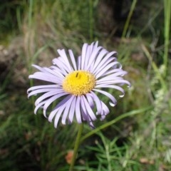 Brachyscome spathulata (Coarse Daisy, Spoon-leaved Daisy) at Black Mountain - 20 Oct 2020 by RWPurdie