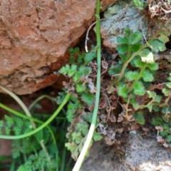 Pleurosorus rutifolius (Blanket Fern) at Ginninderry Conservation Corridor - 21 Oct 2020 by samreid007