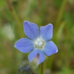 Wahlenbergia sp. (Bluebell) at Lyneham, ACT - 21 Oct 2020 by tpreston