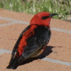 Myzomela sanguinolenta (Scarlet Honeyeater) at Bega, NSW - 21 Oct 2020 by Steph H