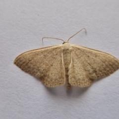 Scopula (genus) (A wave moth) at Rugosa at Yass River - 21 Oct 2020 by SenexRugosus