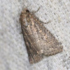 Hypoperigea tonsa (A noctuid moth) at O'Connor, ACT - 18 Oct 2020 by ibaird