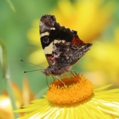 Vanessa itea (Yellow Admiral) at ANBG - 21 Oct 2020 by RodDeb