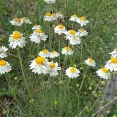Leucochrysum albicans subsp. tricolor (Hoary Sunray) at Mount Mugga Mugga - 18 Oct 2020 by Mike