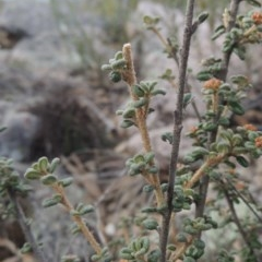 Phebalium squamulosum subsp. ozothamnoides (Alpine phebalium, Scaly phebalium) at Bombala, NSW - 21 Jul 2020 by michaelb