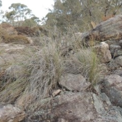 Rytidosperma pallidum (Red-anther Wallaby Grass) at Bombala, NSW - 21 Jul 2020 by michaelb