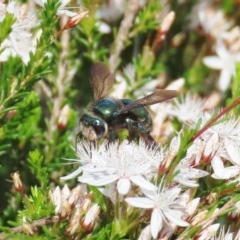 Xylocopa aeratus (Metallic Green Carpenter Bee) at Tuggeranong Hill - 21 Oct 2020 by Owen