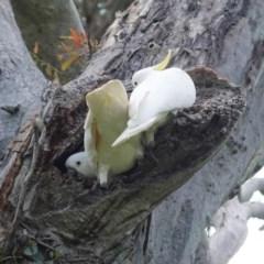 Cacatua galerita (Sulphur-crested Cockatoo) at Hughes Grassy Woodland - 21 Oct 2020 by JackyF