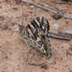 Vanessa kershawi (Australian Painted Lady) at Red Hill Nature Reserve - 21 Oct 2020 by JackyF