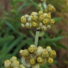 Pseudognaphalium luteoalbum (Jersey Cudweed) at Hughes Grassy Woodland - 21 Oct 2020 by JackyF