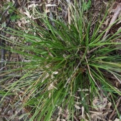 Lomandra multiflora (Many-flowered Matrush) at Red Hill Nature Reserve - 21 Oct 2020 by JackyF