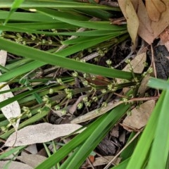 Lomandra multiflora at Red Hill Nature Reserve - 21 Oct 2020