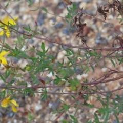 Hypericum perforatum at Dryandra St Woodland - 20 Oct 2020