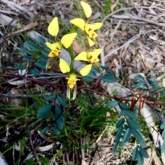 Diuris sulphurea (Tiger orchid) at Gossan Hill - 21 Oct 2020 by goyenjudy