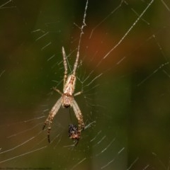 Plebs eburnus (Eastern bush orb-weaver) at ANBG - 21 Oct 2020 by Roger