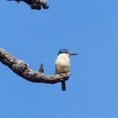 Todiramphus sanctus (Sacred Kingfisher) at Black Range, NSW - 22 Oct 2020 by MatthewHiggins