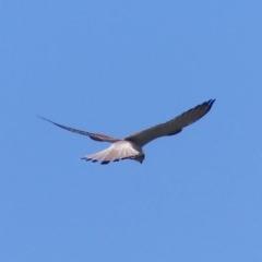 Falco cenchroides (Nankeen Kestrel) at Black Range, NSW - 22 Oct 2020 by MatthewHiggins