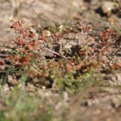 Crassula decumbens var. decumbens (A Stonecrop) at Wodonga - 18 Oct 2020 by Kyliegw