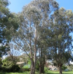 Eucalyptus globulus subsp. bicostata (Southern Blue Gum, Eurabbie) at Flynn, ACT - 22 Oct 2020 by Christine