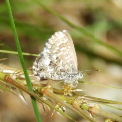 Theclinesthes serpentata (Saltbush Blue) at Kambah, ACT - 17 Oct 2020 by MatthewFrawley