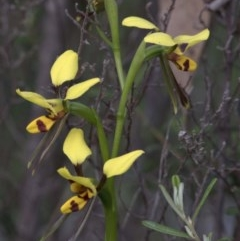 Diuris sulphurea (Tiger orchid) at Cotter Reserve - 20 Oct 2020 by JudithRoach