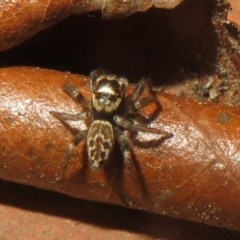 Hypoblemum griseum (A jumping spider) at Flynn, ACT - 21 Oct 2020 by Christine