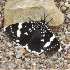 Idalima affinis (A day flying moth) at Woodstock Nature Reserve - 19 Oct 2020 by JohnBundock