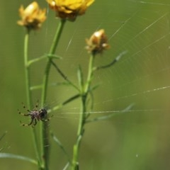 Araneinae (subfamily) (Orb weaver) at Cook, ACT - 19 Oct 2020 by Tammy