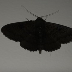 Melanodes anthracitaria (Black Geometrid) at Berry, NSW - 14 Oct 2020 by Username279