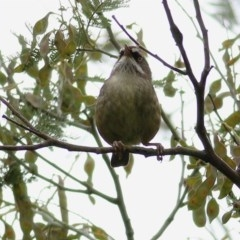 Sericornis frontalis (White-browed Scrubwren) at Wodonga - 22 Oct 2020 by Kyliegw